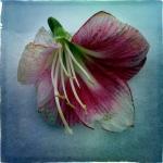therese_cherton_portfolio_hipstamatic_fleurs_009