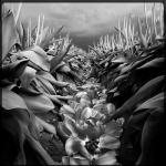 lee_tulips_2404