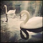 serkin_swans_2611