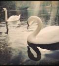 Serkin_Swans_2611_00