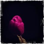 therese_cherton_portfolio_hipstamatic_fleurs_013