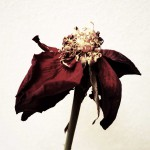 dani_salvadori_flower_12