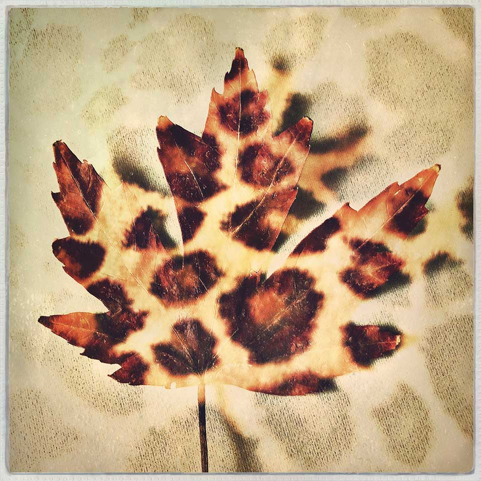 Kat-Meininger-Red-Maple-Leaf-07